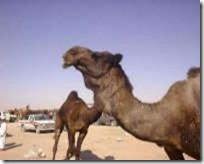 tiere-wueste-kamel